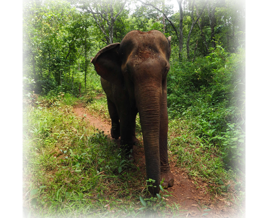 Les éléphants du Mondulkiri