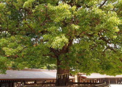 Arbre sacré Sanctuaire Meiji